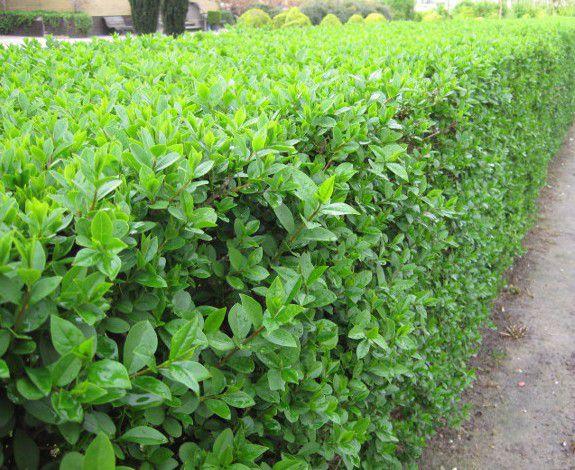 Troène vert / Troène de Californie : Lot de 25 pieds - Taille 60/80 cm  - Racines nues
