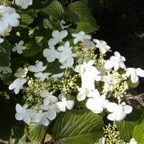Viorne Plicatum Watanabe: Taille 30/40 cm - Pot de 3 litres