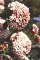 Viorne x Carlcephalum : Taille 40/60 cm - Pot de 3 litres