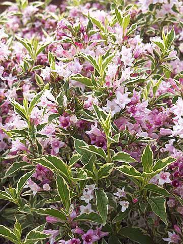 Weigela Florida 'Nana variegata' : Taille 30/40 cm - Pot de 3 litres
