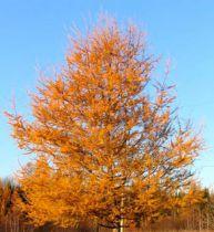 Mélèze du japon : Lot de 25 pieds - Taille 60/90 cm - Racines nues