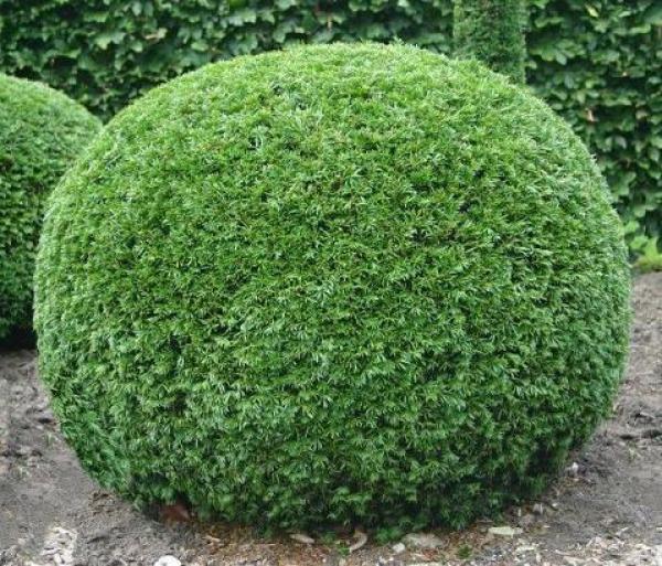 If Commun : Lot de 24 plants - Taille 12/15 cm - Godet de 9x9 cm