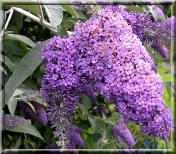 Arbre aux papillons 'Lochinch' : Taille 40/60 cm - Pot de 3 litres