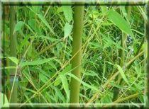 Bambou Doré : taille 150/+ cm - pot de 10 litres