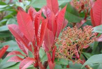 Photinia Fraseri Red Robin' : Lot de 50 - Taille 60/80 cm - Pot de 3 litres