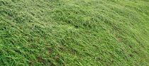 Cotoneaster Dammeri : taille 20/+cm - 30/+cm - 40/+cm
