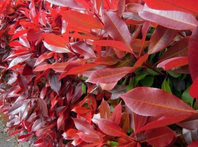 Photinia Fraseri 'Red Robin' : Taille 20/30 cm - Godet 9x9 cm