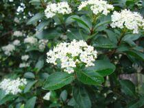Laurier tin : Lot de 20 plants - Taille 20/30 cm - Godet de 9x9 cm