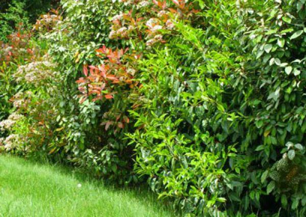 KIT HAIE PERSISTANTE CLAUSTRA : 24 plants - Godet de 9x9 cm