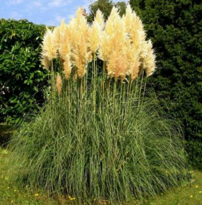 cortaderia selloana herbe de la pampa godet de 9x9 cm jardin des gazelles jardinerie en. Black Bedroom Furniture Sets. Home Design Ideas