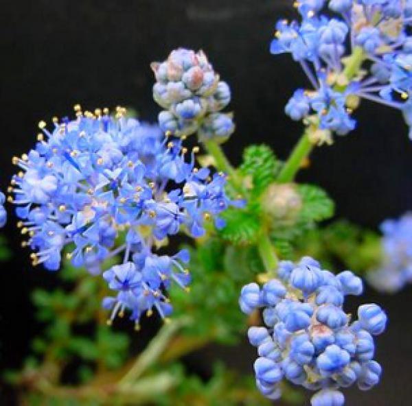 Céanothe 'Puget Blue' dit 'Céanothe de Santa Barbara' : Taille 40/50 cm - Pot de 3/5 litres