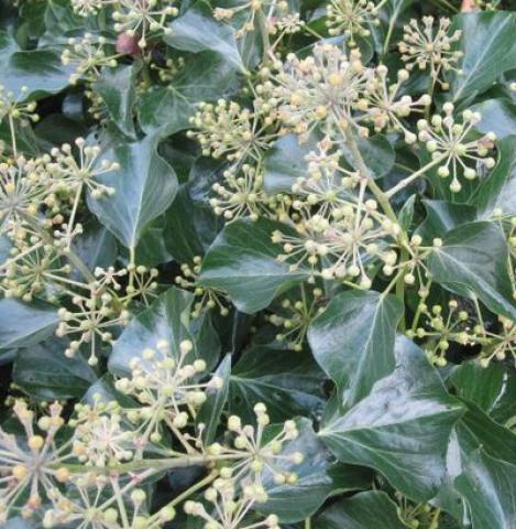 Lierre arborescent : Taille 30/40 cm - Pot de 3 litres.