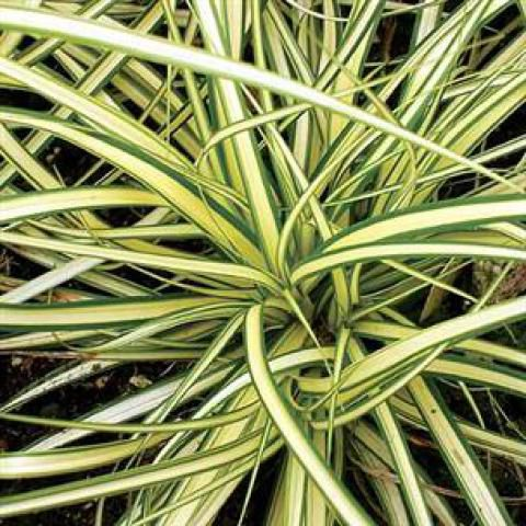 Carex oshimensis 'Evergold' : Pot  de 2 Litres