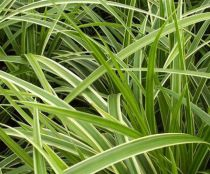 Carex morrowii 'Ice Dance' : Pot  de 2 litres
