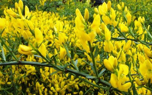 Genista lydia : Lot de 3 plants - Pot de 1,5 L