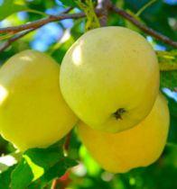 Pommier Golden Delicious : Basse tige / Gobelet