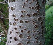 Peuplier Blanc / Peuplier argenté 'Nivea' : taille 100/125 cm - lot de 5 pieds - Racines nues