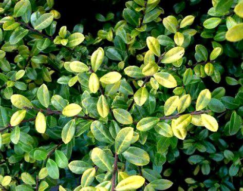 Houx crénelé 'Golden Gem' : Taille 20/30 cm - Pot de 2.5 litres