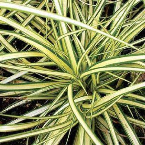 Carex oshimensis 'Evergold' : Godet de 9 x 9 cm