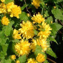 Corête du Japon 'Pleniflora' : Taille 40/60 - Racines nues