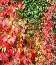 Vigne vierge quinquefolia Engelmani : Taille 50/60 cm - Pot de 2 litres
