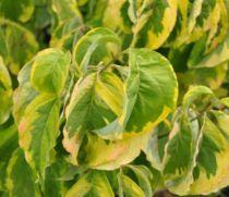 Cornouiller à fleurs Rainbow  :  Taille 40/50 cm - Pot de 2 litres