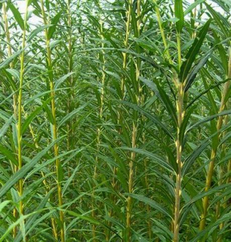 Osier vert / Saule des vanniers / Vime : taille 40/60 cm - racines nues