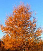 Mélèze du japon : Taille 60/90 cm - Racines nues