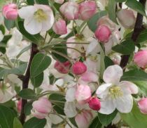 Pommier à fleurs Perpetu Evereste : Taille 60/90 cm - Racines nues