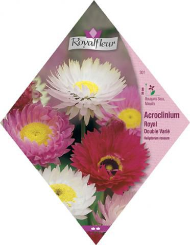 ACROCLINIUM Royal Double Varié