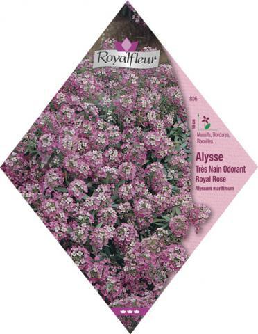 ALYSSE ODORANT Royal Rose Très Nain