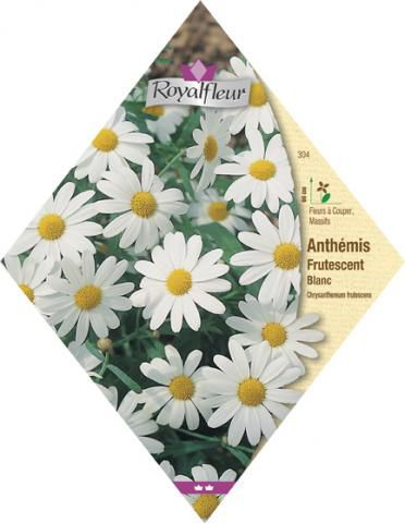 ANTHEMIS Frutescent Blanc