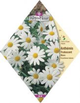 ANTHEMIS Frutescent Blanc