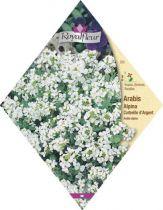 Arabis Alpina Corbeille D'argent