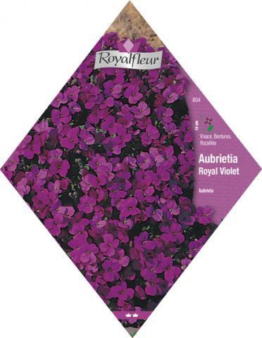 AUBRIETE Royal Violet