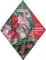 BALSAMINE Buisson Fleuri Variée
