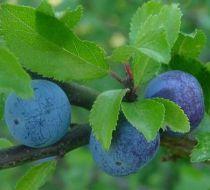 Prunellier - Épine noire : Taille 60/80 cm - Racines nues
