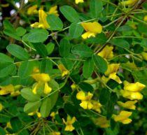 Acacia jaune / Acacia de Sibérie : Taille 60/80 cm - Racines nues
