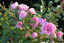 Rosier 'The Fairy' : Racines nues - 3 branches et +