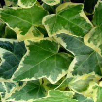 Lierre commun 'Goldchild' : Taille 20/30 cm - Godet 9x9 cm