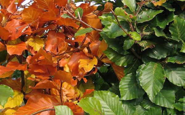 Hêtres verts : Lot de 5 pieds - Taille 40/60 cm -  Racines nues