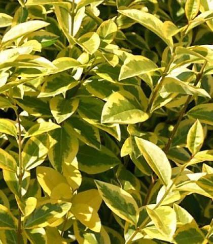 Troènes dorés : Lot de 5 pieds - Taille 60/80 cm - Racines nues