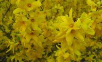 Forsythia 'week-end' : Taille 50/60 cm - pot de 3 litres