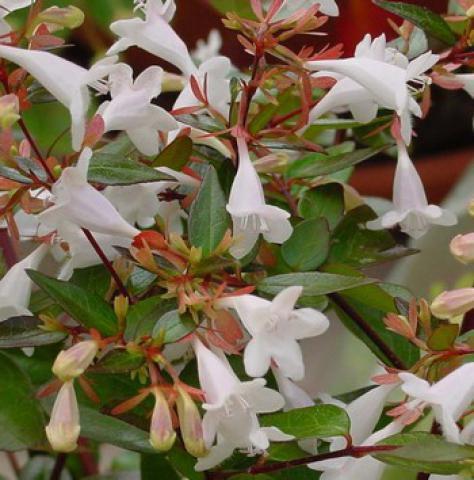 Abelia x Grandiflora : Taille 25/30 cm - Pot de 3 litres