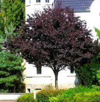 Cerisier a fleurs Pissardii : 1/2 Tige - Racines nues