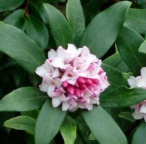Daphné / Bois-joli odorant : taille 20/30 cm - Pot de 2 litres.