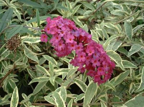 Arbre aux papillons 'Harlequin' : Taille 40/60 cm - Pot de 3 litres