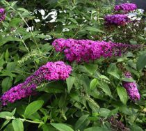 Arbre aux papillons 'Raspberry Wine' : Taille 40/60 cm - Pot de 3 litres