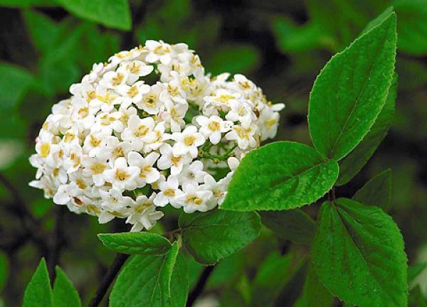 Viorne x Burkwoodii : Taille 20/30 cm - Godet 9x9 cm
