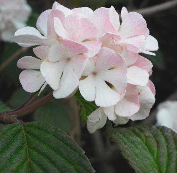 Viorne Plicatum Mary Hilton : Taille 40/60 cm - Pot de 3 litres